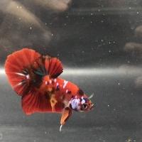 Ikan Cupang / Betta HMPK Koi Multicolour Galaxy
