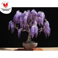 Benih / Bibit / Biji Purple Wisteria Tree for Bonsai Seeds - IMPORT