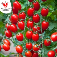 50 Biji Benih Tomat Ceri Merah Red Cherry Tomato Grape Tomat Anggur