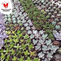 Kaktus Mini Dan sekulen (Baby Succulent)