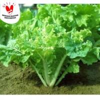 Bibit sayuran sawi samhong / keriting isi puluhan biji benih