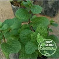 garansi bibit daun mint banyak manfaat