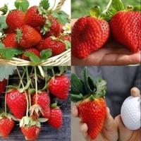 Bibit strawberry jumbo