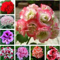 Egrow 100 PCS Geranium Kebun Bibit pot bunga Bibit