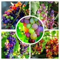 Bibit/ benih wortel, mawar, anggur, cabe pelangi/ rainbow