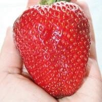 Benih / Bibit Buah Strawberry Merah Super Besar (Red Giant Strawberry Seeds) - IMPORT