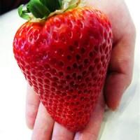Benih Big Red Strawberry / Strawberry Besar - Merah (Import)