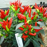 Bibit / Benih / Seeds Candlelight Pepper Cabe Hias Unik Bisa Dimakan