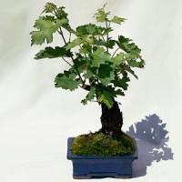 biji benih bonsai buah anggur hitam