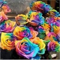 Benih Bunga Mawar Pelangi / Rainbow Rose