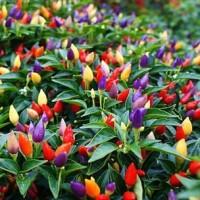Benih Biji Sayur Cabai Cabe Rainbow Ornamental Chili Pepper