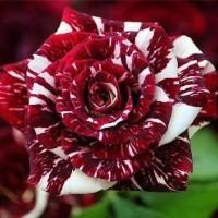 Jual pohon bunga mawar | supplier aneka tanaman bunga hias