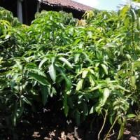bibit mangga yuwen dengan buah jumbo dan lezat