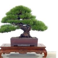 Benih Biji Bonsai Pinus Jepang Impor (Japanese Pine Tree Seeds Import)