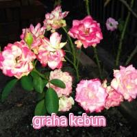 bibit bunga mawar canti