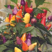 Benih cabai cabe rainbow ornamental F1 (Hot) Razzamatazz Mr.Fotehrgil