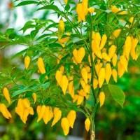 Bibit / Benih / Cabe Asam Manis Lemon Drop Pepper Cabe Kuning Asyik