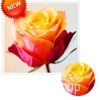 Jual Benih Bunga Mawar Merah kekuningan / Coral Rose isi 25 Butir -