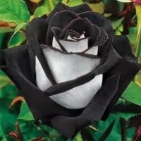 Jual Benih Bunga Mawar Hitam Putih / Black & White Rose isi 20 B