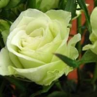 Jual Benih Bunga Mawar / Rare Rose Green / Hijau Langka isi 30 Butir
