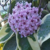 Tanaman Pink Hoya Variegata