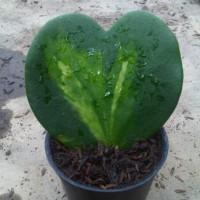 Tanaman Sweetheart Hoya (Love Hoya)