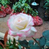 bibit bunga mawar pw