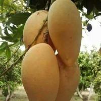 bibit buah okulasi mangga chokanan