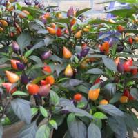 Benih / Bibit / Biji Cabe Bolivian Rainbow Pepper Chili Seeds - IMPORT