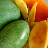 Bibit buah mangga manalagi madu unggul|ecer bibit mangga manalagi mura