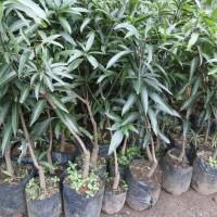 Bibit tanaman buah mangga gedong gincu unggul Indramayu|tanaman murah