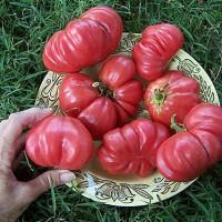 Bibit / Benih / Seeds Tomat Pink Tomat Unik Tomato Giant Belgium Pink