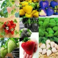 benih bibit biji buah Strawberry Rainbow