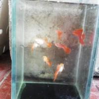 Ikan Guppy Albino Full Red (AFR)