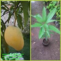 bibit tanaman buah mangga Chokanan Thailand unggul genjah dan murah