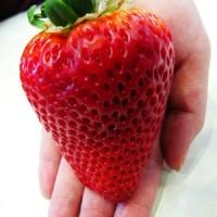 Benih Super Big Strawberry (Import)