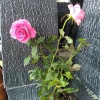 Bibit bunga Mawar pink