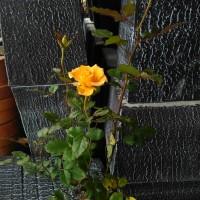 Bibit bunga Mawar kuning