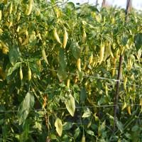 BEnih Cabe Pedas Cabe Rawit Merunduk Hot Pepper Chili Mudah Tumbuh
