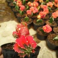Kaktus succulent gymnocalycium
