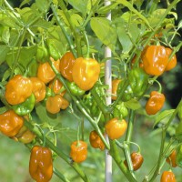 Bibit / Benih / Seeds Orange Habanero Pepper Hot Pepper Cabe Orange
