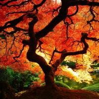 Bibit / Benih / Seeds Shantung Maple Biji Acer Truncatum Bonsai Maple