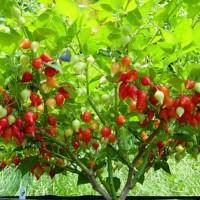 Bibit / Benih / Seeds Red Chupetinho Pepper Cabe Unik Merah Lucu