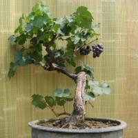 biji/benih/bibit bonsai buah anggur merah import