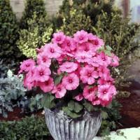 Bibit / Benih / Seeds Bunga Hibiscus Rose Mallow Mudah Tumbuh