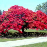 benih / biji / bibit bunga flamboyan merah keren / indah