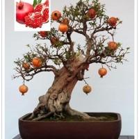 biji/benih/bibit bonsai buah delima import