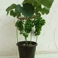 biji/benih/bibit bonsai buah anggur hijau import
