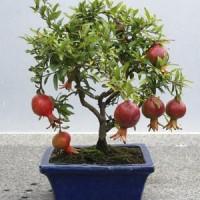 biji/benih/bibit bonsai buah delima merah