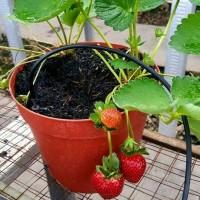 Tanaman Strawberry Jumbo / Bibit Stoberi California Super